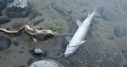Fish dead in a river
