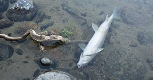 Dead fish in river